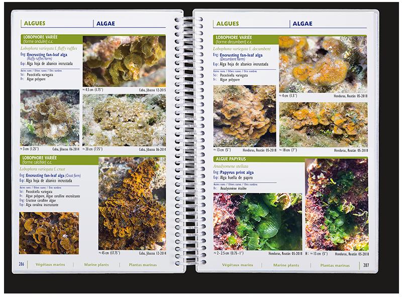 Végétaux marins des Caraïbes